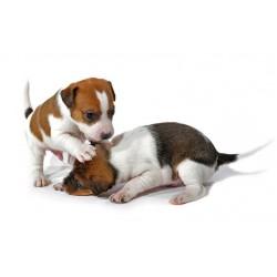 Най-подходящите малки породи кучета за апартамент част 2