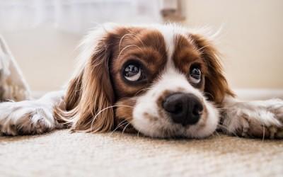 Най-добрата храна за кучета с алергии
