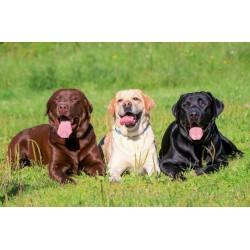 Най-добрата храна за Кученца Лабрадори и Големи Породи
