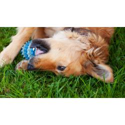 Защо кучетата обичат толкова много писукащи играчки?