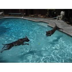 Хлорът в басейните – безопасен ли е за домашните любимци?
